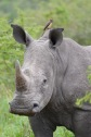 Safari i KwaZulu-Natal